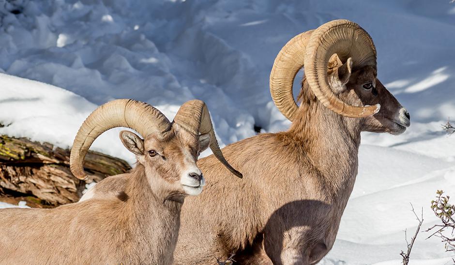 Spotting The Elusive Sierra Nevada Bighorn Sheep Visit Mammoth
